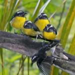 Sugarbirds at Indigo