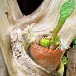 Cactus on driftwood