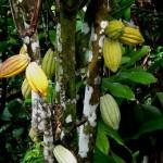 Cocoa tree in Indigo garden
