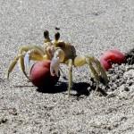 Crab and sea grape